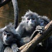 Monkey Trio Poster