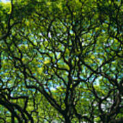 Monkeypod Canopy Poster
