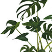 Monstera Bunch  Poster