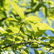 Monterrey Oak Leaves In Spring Poster