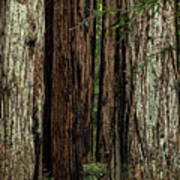 Montgomery Woods State Natural Reserve Poster