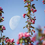Moon Through The Crabapple Blossoms Poster