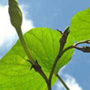 Moonflower Vine Bud To The Sky Poster