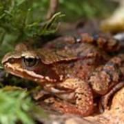 Moor Frog In September  Poster