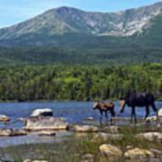 Moose Baxter State Park Maine 2 Poster