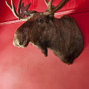 Moose Head Mounted On A Wall. Poster