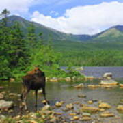Moose Looking Back Sandy Stream Pond Poster