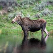 Moose Yellowstone Np_grk6918_05222018 Poster
