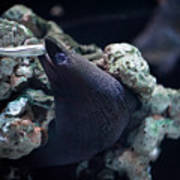 Moray Eel Eating Little Fish Poster