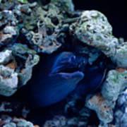 Moray Eel Or Muraenidae Fish Poster