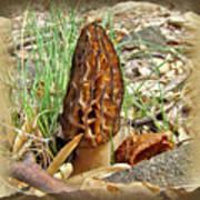Morel Mushroom - Green Lane Pa Poster