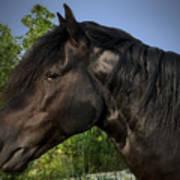 Morgan Horse Poster