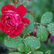 Morning Dew On A Rose Poster