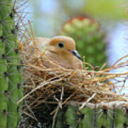 Mourning Dove Nest In A Cactus Poster