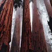 Morning Fog In Redwood Forest Poster