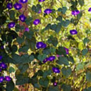 Morning Glories Poster by Margie Hurwich