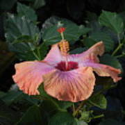 Morning Hibiscus Poster