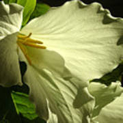 Morning Light - Trillium Poster
