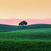 Morning Light And Oak Tree Poster