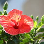 Morning Light Hibiscus Poster