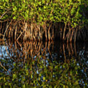 Morning Light Mangrove Reflection Poster