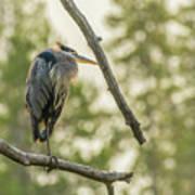 Morning Light On Great Blue Heron Poster