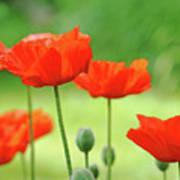 Morning Light Poppies Poster