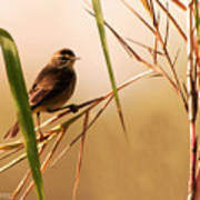Morning Light Warbler Poster