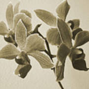 Morning Orchid Poster by Ben and Raisa Gertsberg