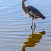Morning Reflections Of A Great Blue Heron Poster