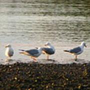 Morning Seagulls Poster