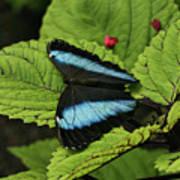 Morpho Butterfly Poster