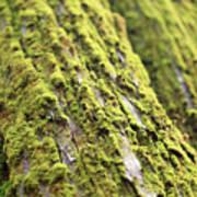 Moss On A Cedar Poster