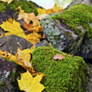 Mossy Stones And Maple Leaves Poster