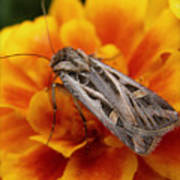 Moth And Marigold Poster