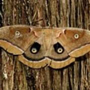 Moth On Cedar Tree Poster