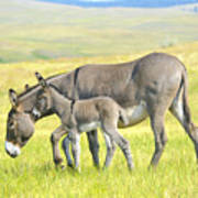 Mother And Baby Burro Poster