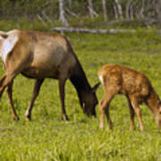 Mother Elk And Fawn Poster
