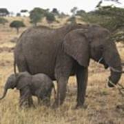 Mother And Baby Elephant Poster