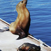 Mother And Baby Sea Lion At Oceanside  Poster