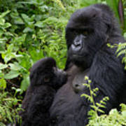 Mother And Suckling Baby Gorillas Poster