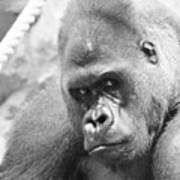 Mother Gorilla In Thought Poster