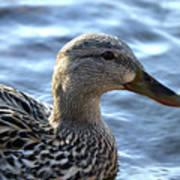 Mottled Duck Big Spring Park Poster