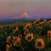 Mount Hood And Balsam Root Blooming In Spring Poster