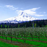 Mount Hood Behind Orchard Blossoms Poster