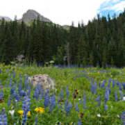 Mount Sneffels Lupine Landscape Poster
