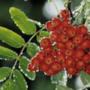Mountain Ash Berries In Rain Poster