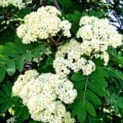 Mountain Ash Blossoms Poster