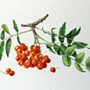 Mountain Ash With Berries  Poster