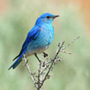 Mountain Bluebird Beauty Poster